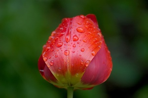 la.tulipes.21 as