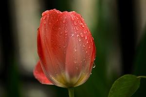 la tulipes 2019 058 as