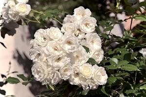 rosa multiflora 2018 01 as