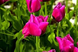 la tulipe 2018 054 as
