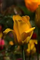la tulipe 2017 040 as