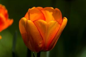 la tulipe 2017 027 as