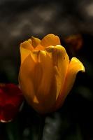 la tulipe 2017 032 as