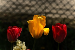 la tulipe 2017 035 as