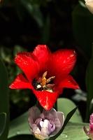 la tulipe 2017 036 as