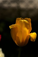 la tulipe 2017 034 as