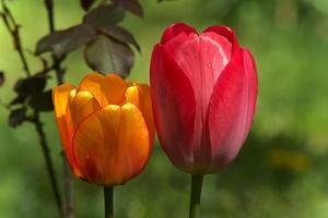 la tulipe 2017 025 as