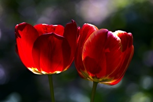 la tulipe 2017 017 as