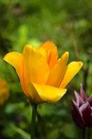 la tulipe 2017 023 as