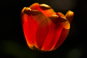 la tulipe 2017 016 as