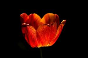 la tulipe 2017 014 as