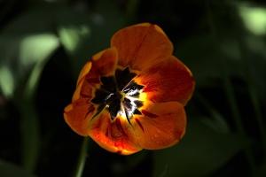 la tulipe 2017 019 as