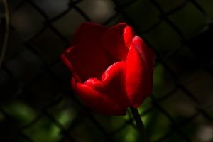 la tulipe 2017 010 as