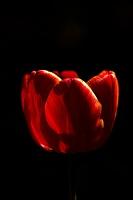 la tulipe 2017 008 as
