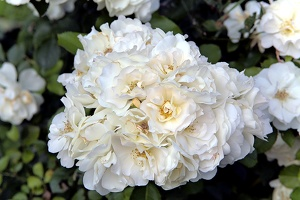 roses 002 as