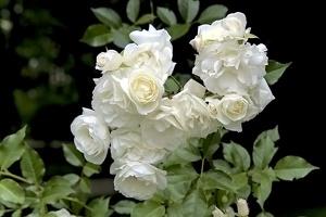 rosa centifolia 2016 08 as