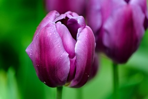 la tulipe 2016 90 as
