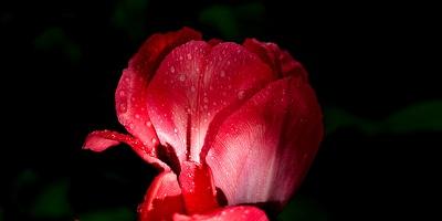 la tulipe 2016 21 as