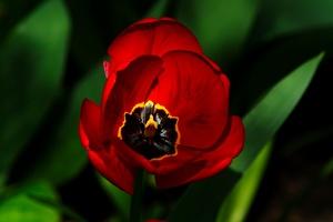 la tulipe 2016 04 as