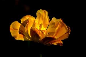 la tulipes 2019.066 as 1