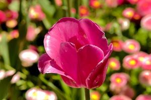 la tulipes 2019.073 as
