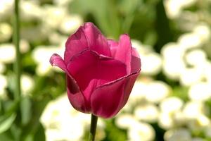 la tulipes 2019.070 as