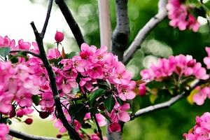 pink blossoms 2010.01 as graphic