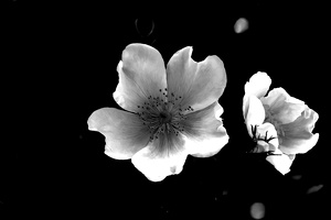 macro.blossom.2020.094 as graphic bw