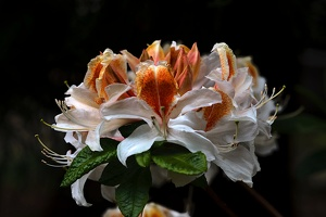 white rhododendron 2020.03 as