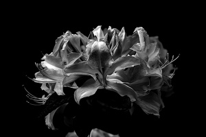 white rhododendron 2020.03 as graphic bw
